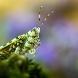 Colorful Mantis