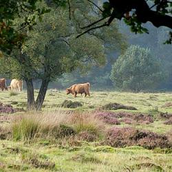 Schotse Hooglanders  Deelerwoud
