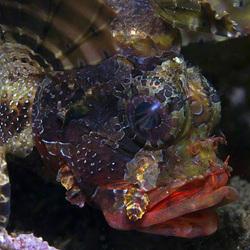 Schorpioenvis