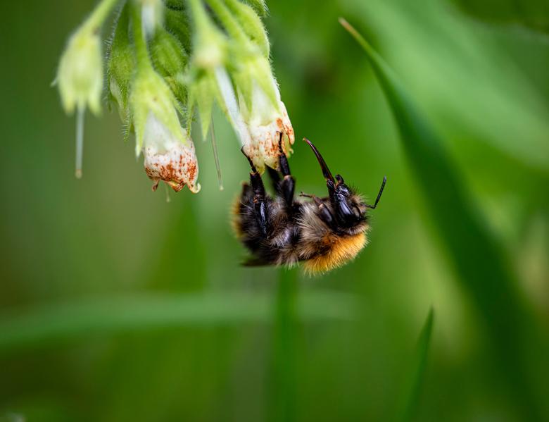 Upside down - Aaibaar zijn de hommels die in de meest onmogelijke posities de nectar opzuigen.