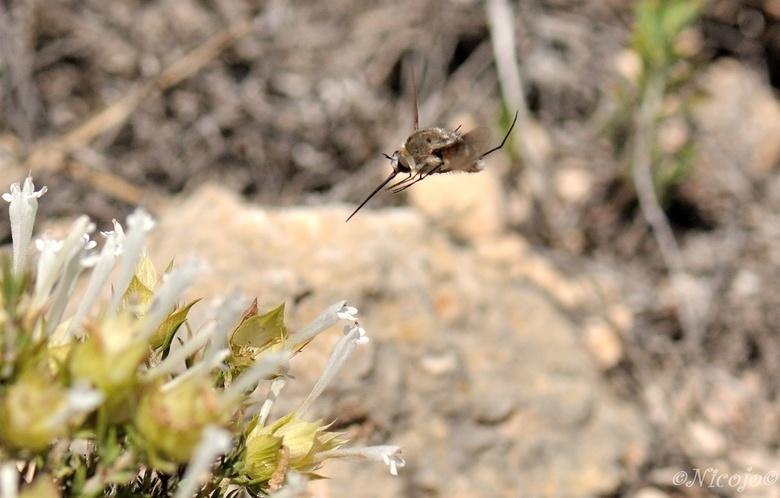 Wolzwever op de tijm. - Aanvallen....... deze zenuwachtige nectar zuigende insecten vlogen er bij bosjes in het nationaal park Sierra de la Pila, Ook