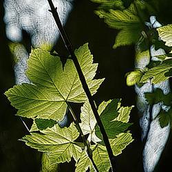 Fris jong groen blad....
