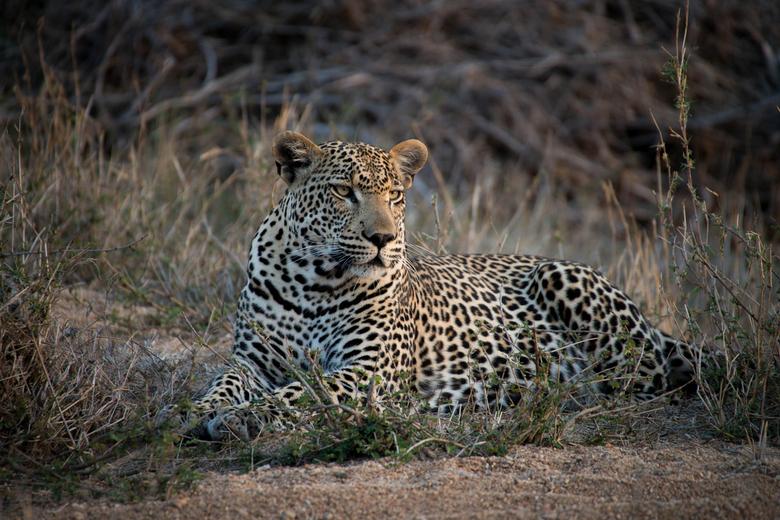 Leopard -