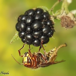 Hoornaar snoept van een Braam