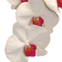 witte orchideën