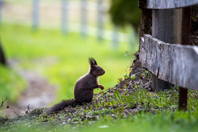 Eekhoorn - Eekhoorntje