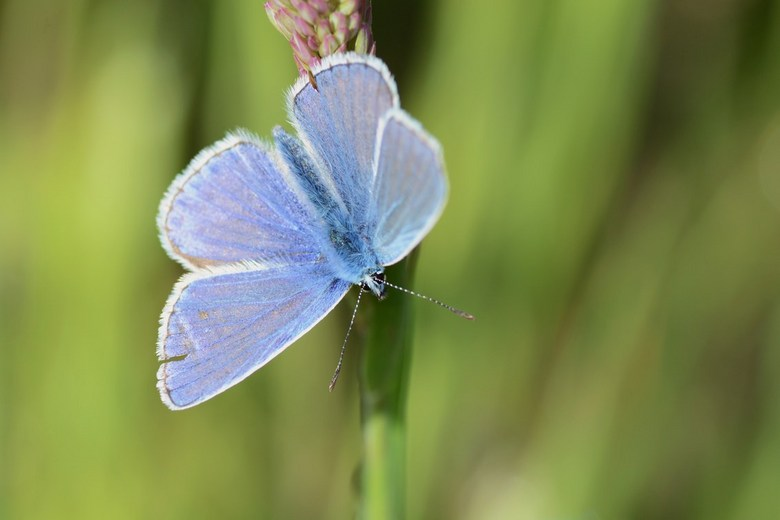 Blauwtje - Volgens mij een icarisblauwtje. Als het anders is wordt ik graag verbeterd.