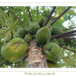 Papayas at the tree