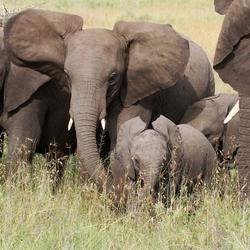 olifantenfamilie in t gras