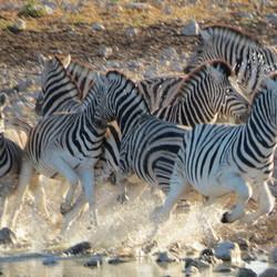 Schrikkende zebra's