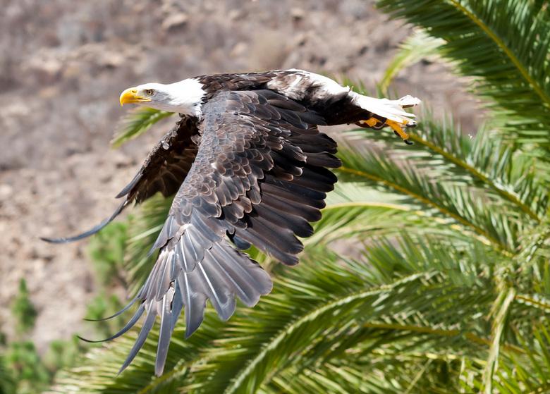 Bold Eagle - Bold Eagle gefotografeerd in Palmitospark op Gran Canaria.