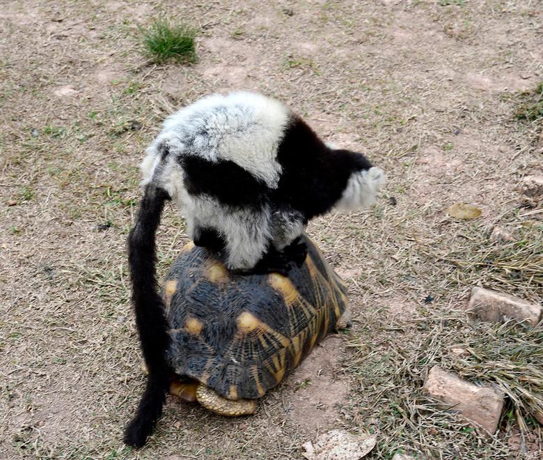 """turtle taxi - wat als een Vari een schildpad ontmoet? <br /> even gebruiken als taxi, lucky moment <img  src=""""/images/smileys/smile.png""""/><br />"""