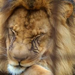 koning van de jungle?
