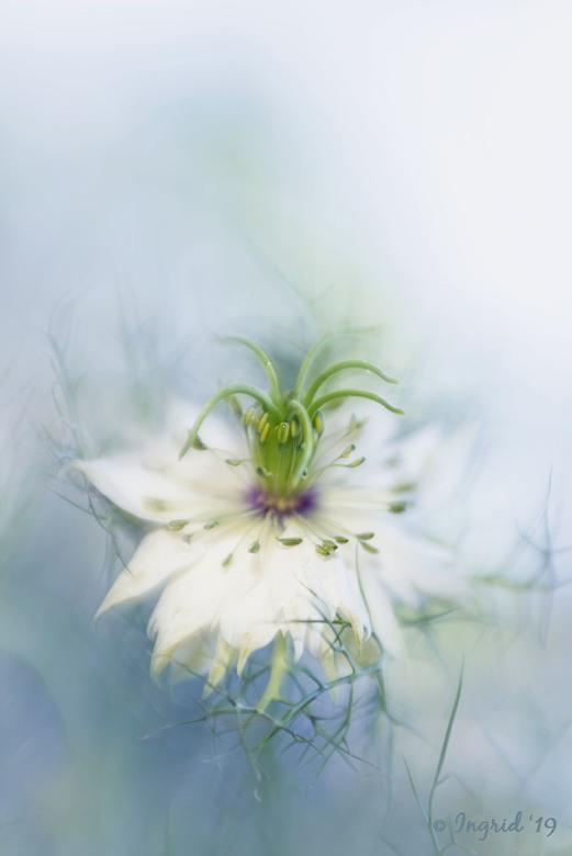 It's a kind of magic - Juffertje in &#039;t groen, Nigella Damascena, Love in a mist, allemaal benamingen voor deze fotogenieke bloem. <br /> Genomen