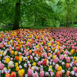 Mooi veld tulpen