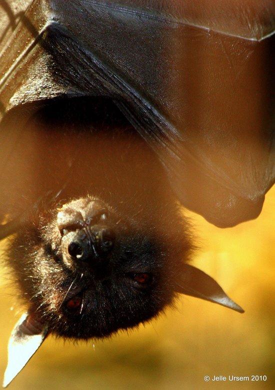Vleermuis - Een vleermuis in Jakarta Zoo<br /> <br /> Erg lastig om zo&#039;n beestje door de tralies heen scherp te krijgen, en wát een triest zooi