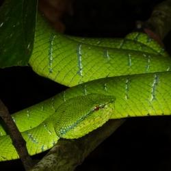 2009 Borneo Viper slang.jpg