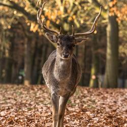 Hert in Hochwildpark Rheinland