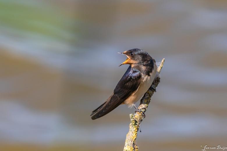 Jonge zwaluw  1533 - Deze jonge zwaluw ziet zijn moeder met voedsel aankomen