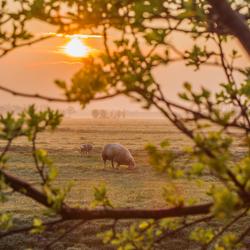 Zonsopgang in de Polder met schapen