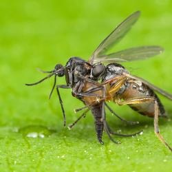 Vlieg met mug als prooi