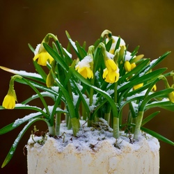 Narcissen in de winter.