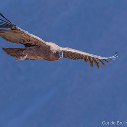 Andes condor