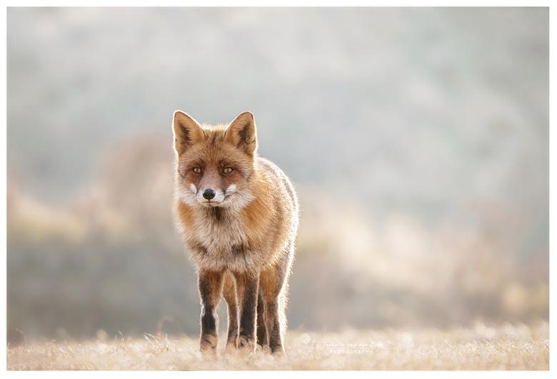 Tegenlicht - Dit vosje aan het eind van de middag met tegenlicht op de foto kunnen zetten.