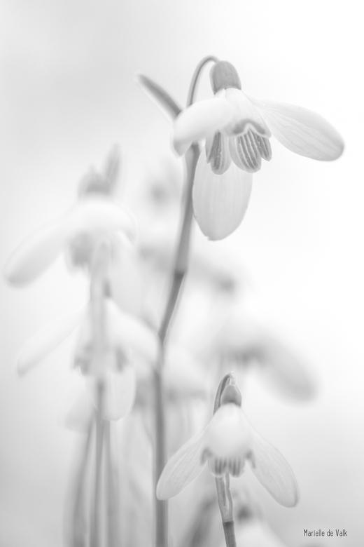wit sneeuwklokje
