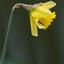 Narcis in bloei