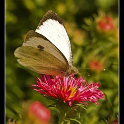 vlinder op bloempje