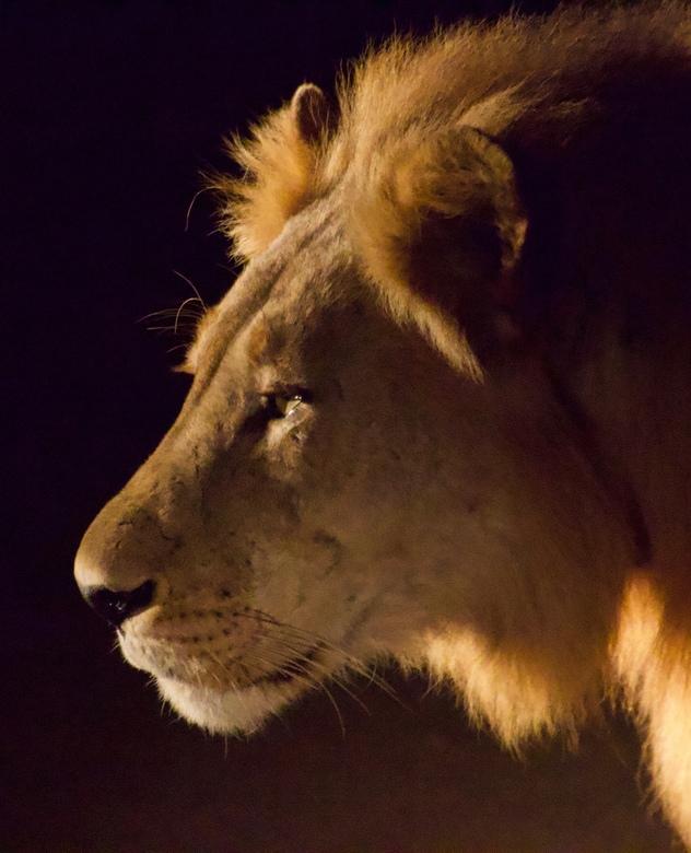 Jagen in de spotlights   - De ontmoeting met deze leeuw was tijdens een nachtelijke safari. De gunstige belichting werd verzorgd door het zoeklicht va