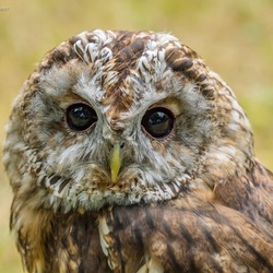Tawny or Brown Owl