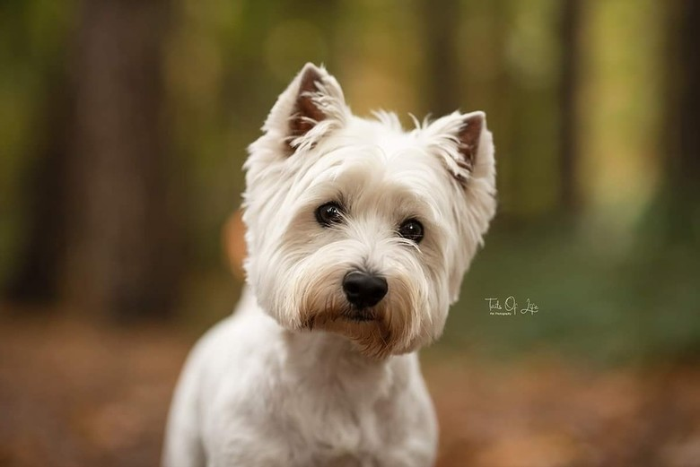West Highland White Terrier -