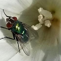 Vlieg op bloem