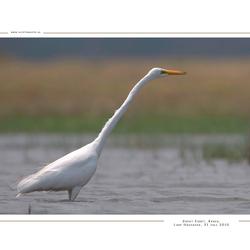 Great Egret, Kenia