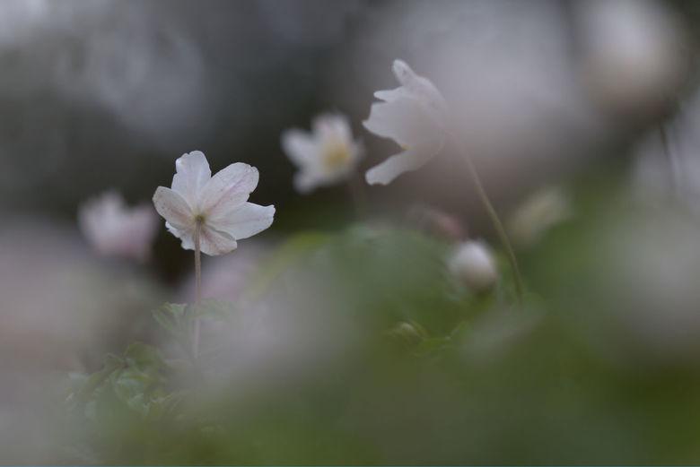 anemonen : toewenden