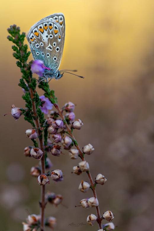 """Stand alone - Het blijft mooi om een Icarusblauwtje te fotograferen - vooral tussen de paarse heide <img  src=""""/images/smileys/wilt.png""""/>"""