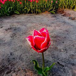 Gepaste afstand op een tulpenveld