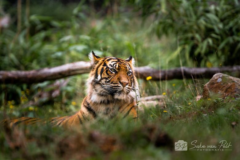 Sumatraanse Tijger - Een Sumatraanse Tijger in Burgers Zoo. Ze lag er zo prachtig bij, maar het duurde even voordat ze zich ging verliggen en er geen