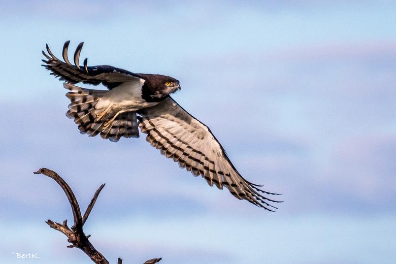 Black chested snake eagle - Adelaar in Erindi Private Game Resort in Omaruru, Namibië.