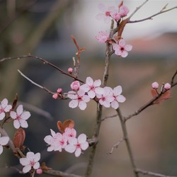 takken roze bloesem