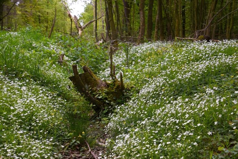 DSC_1921  Droge sloot. - Ondanks de droogte een groot bloemen tapijt.<br /> <br /> Oerbos in het Emsland.