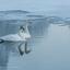 Wilde zwanen bij -23°C in harmonie