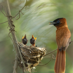 Red-bellied Paradise Flycatcher met jongen. Gambia okt 2018