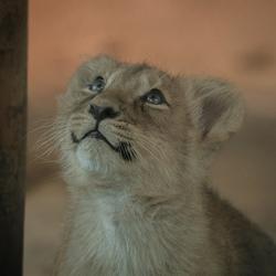 1 van de 3 Aziatische leeuwtjes ..