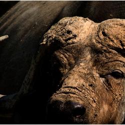 Portret van een Buffel ( Lake Nakuru ) Kenia.