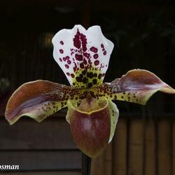 Orchidee de Venusschoentje