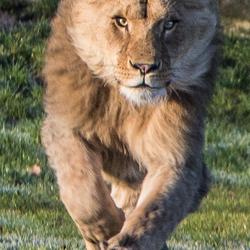 Lion on the run