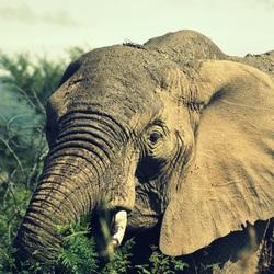De Afrikaanse Savanneolifant